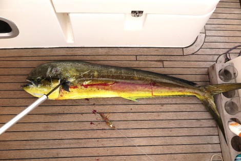 Wir fischen einen 1,15 m langen Mahi Mahi, das reicht für 5 Mal Fischessen