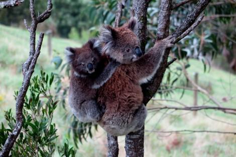 Wie gefallen euch die Koalas?